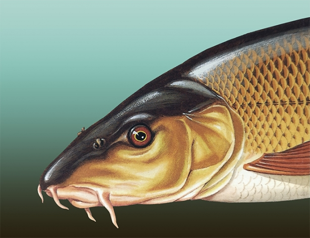 Illustration of a Common Barbel painted in gouache