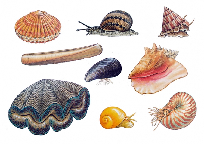 Illustrations showing a selection of Molluscs in their shells