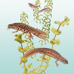 Common Newt painting - watercolour art