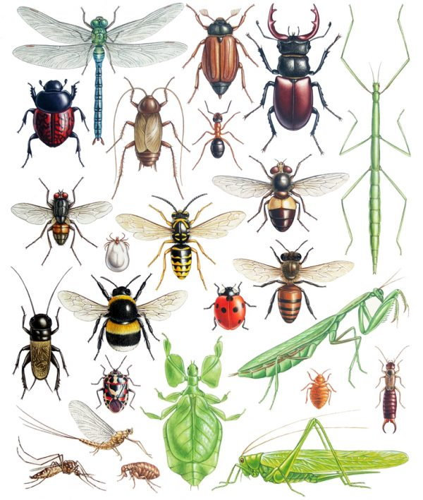 European Insects painting in watercolour