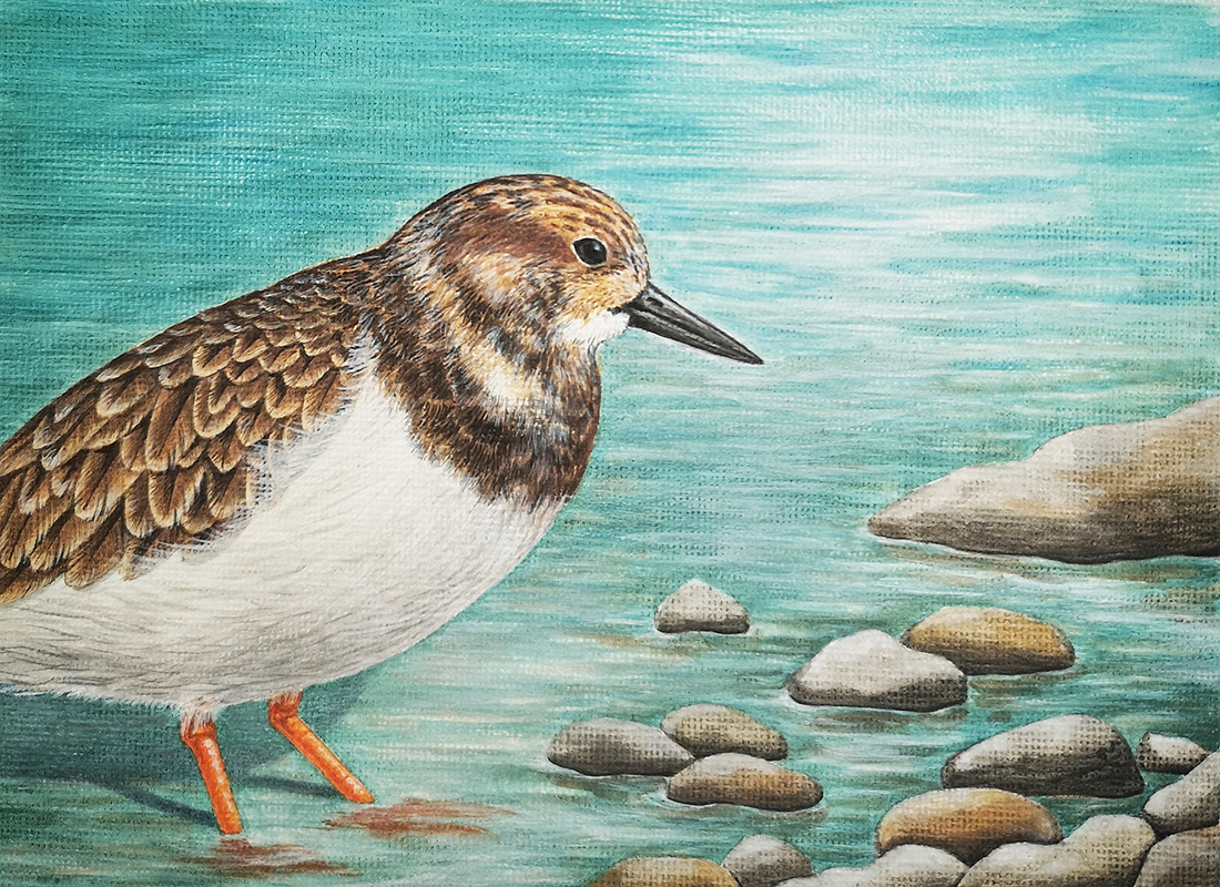 Original painting of a Turnstone bird
