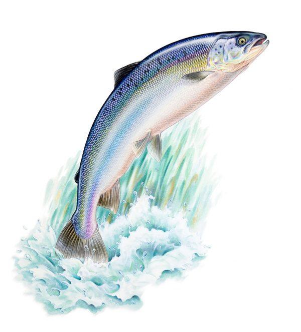 Salmon watercolour painting