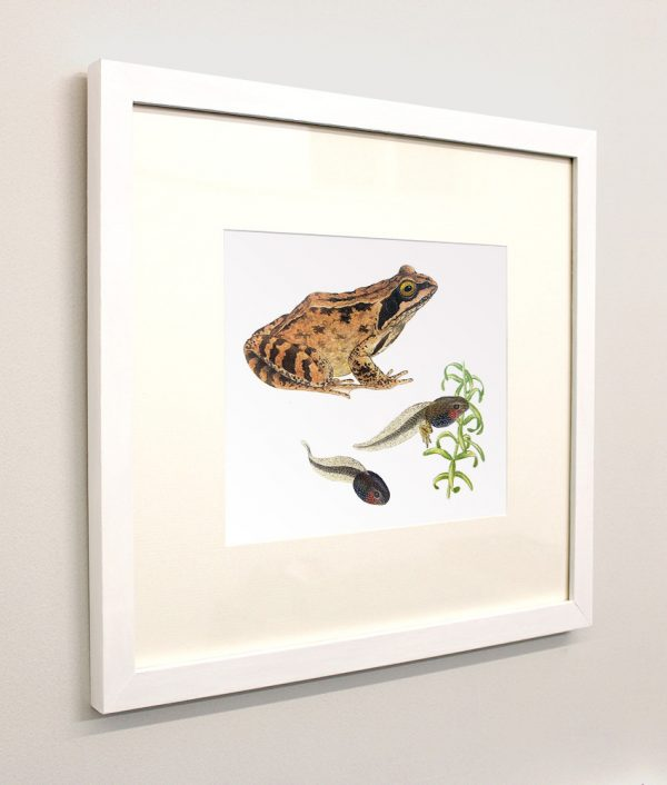 Framed painting of a Common Frog