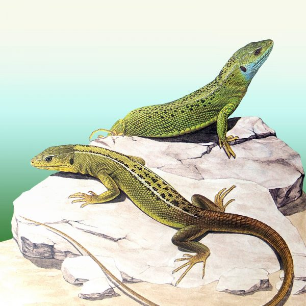 Green Lizard watercolour painting