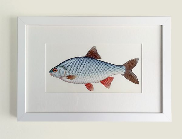 Framed painting of a Roach fish