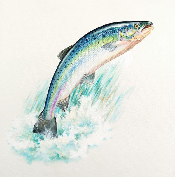 Watercolour painting of a Salmon